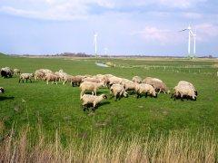 BU_Greetsiel_-_Landschaft-mit-Schafen.jpg